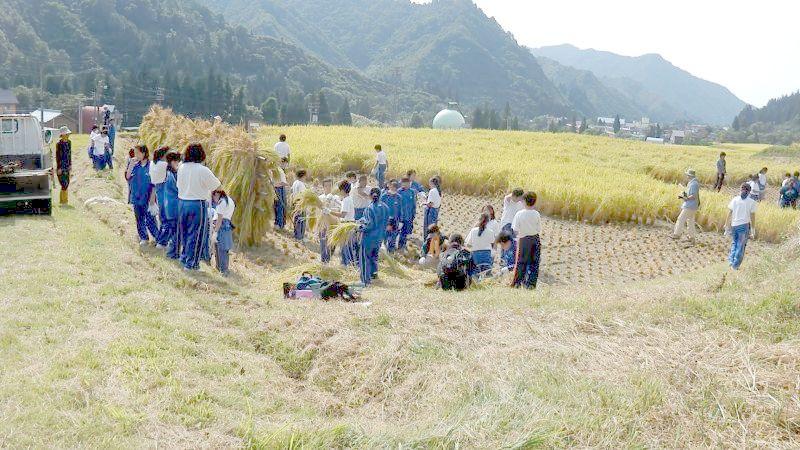 魚沼産コシヒカリの稲刈り体験の様子