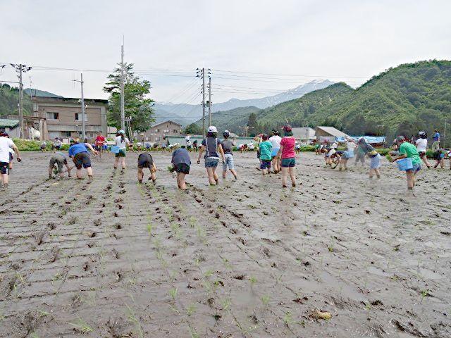 魚沼産コシヒカリの田植え体験の様子